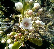 White Cherry Blossoms V1 by renmi86