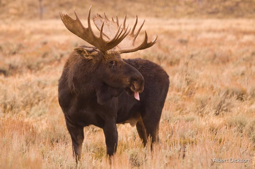 Bull Moose, Gros Ventre River, Wyoming by Albert Dickson