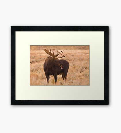 Bull Moose, Gros Ventre River, Wyoming Framed Print