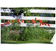 Poppies Along White Fence Poster