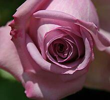 Lilac rosebud by jdphotos