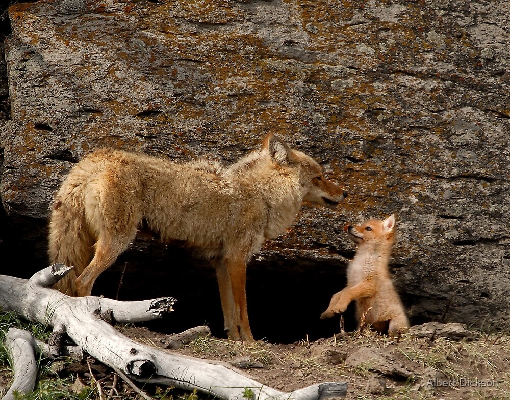 Coyote and Pup by Albert Dickson
