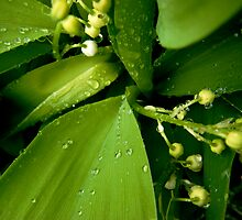 Rain Soaked Lily of the Valley by amypalko