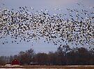 Snow Geese  by Dawne Olson