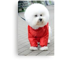 white Bichon Frise in a red raincoat  Canvas Print