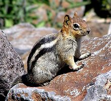 Golden Mantled Ground Squirrel by Patty (Boyte) Van Hoff