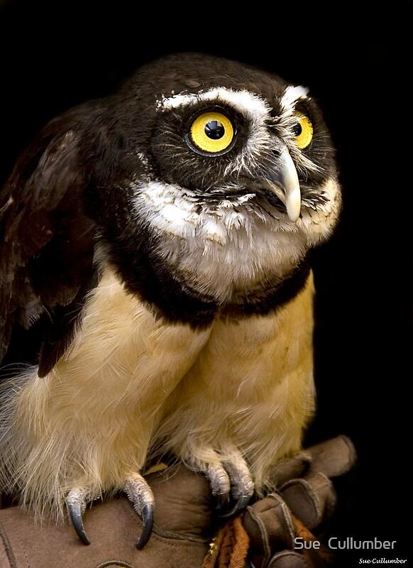 Owl  ZooBorns