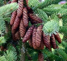 Beautiful Spruce Cones by Judith Hayes