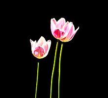 Pink Tulip in Light by terrebo