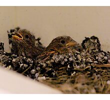 Baby Sparrows Photographic Print