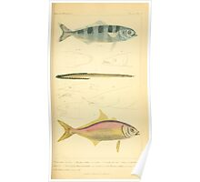 The Animal Kingdom by Georges Cuvier, PA Latreille, and Henry McMurtrie 1834  148 - Pisces Fish Poster