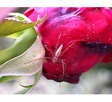 Who's Been Eating My Roses? Photographic Print