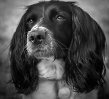 Portrait of and English Springer Spaniel by JFPhotography