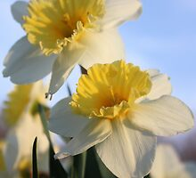 Daffodils by Megan Noble