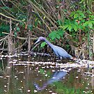 Little Blue Heron by TJ Baccari Photography
