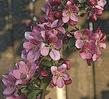 Blossoms by wwyz