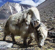 Yak, around the Kora Mt Kailash, Tibet by Vicktorya Stone