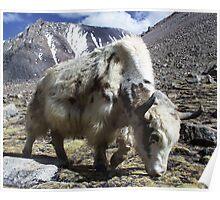 Yak, around the Kora Mt Kailash, Tibet Poster
