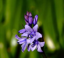Spanish Bluebell by Paul Bettison