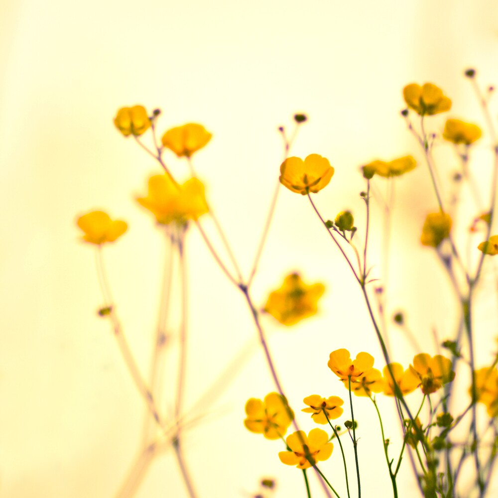 Buttercups by humanremains