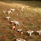 Toadstools all in a row by Antonia Newall