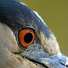 Black Crowned Night Heron Eye by Photography by TJ Baccari