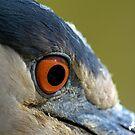 Black Crowned Night Heron Eye by TJ Baccari Photography