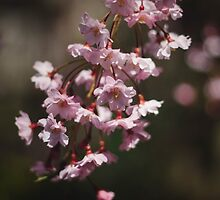 Cherry Blossoms by Bethany Helzer