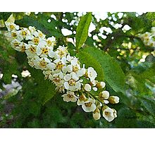 Tree Blossoms, spring flowers Photographic Print