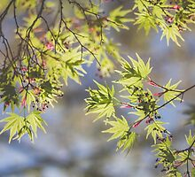 Japanese Maple by Bethany Helzer