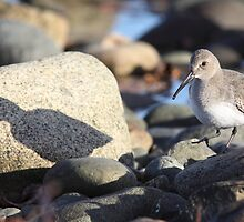 Dunlin Shadow by Jillian Johnston