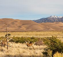 Deer on the Plains Great Colorado Sand Dunes by Bo Insogna