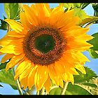 Sunflowers in Germany #4 by LeahsPhotos