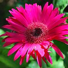 Gerber Daisy by Cathy Jones