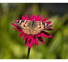 Painted lady butterfly -Vanessa cardui Photographic Print