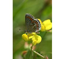 Brown Argus Butterfly on Birdsfoot Trefoil Flowers Photographic Print