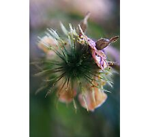 to burst open (from wild flowers collection) Photographic Print
