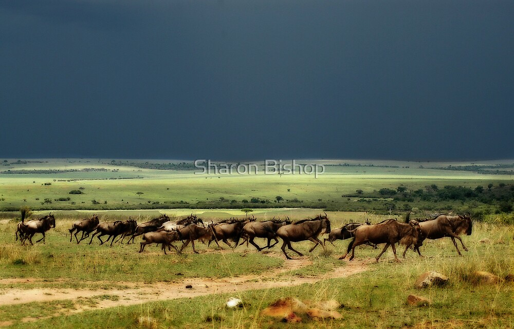 Wildebeest on the stampede by Sharon Bishop
