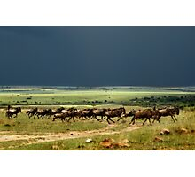 Wildebeest on the stampede Photographic Print