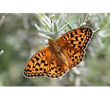 Dark Green Fritillary Butterfly Photographic Print