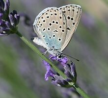 Large Blue Butterfly on Lavender by Michael Field