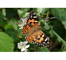 Painted Lady Butterfly on Bramble Flowers Photographic Print