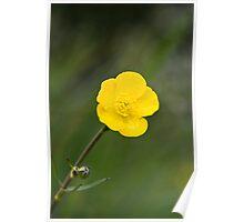 Meadow Buttercup (Ranunculus acris) Poster