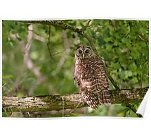 Barred Owl at Lake Martin  Poster