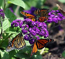 Butterfly Feast by cdudak