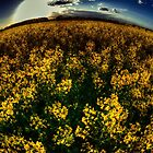 Essex Rapeseed Field by Nigel Bangert