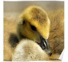 Duckling Poster