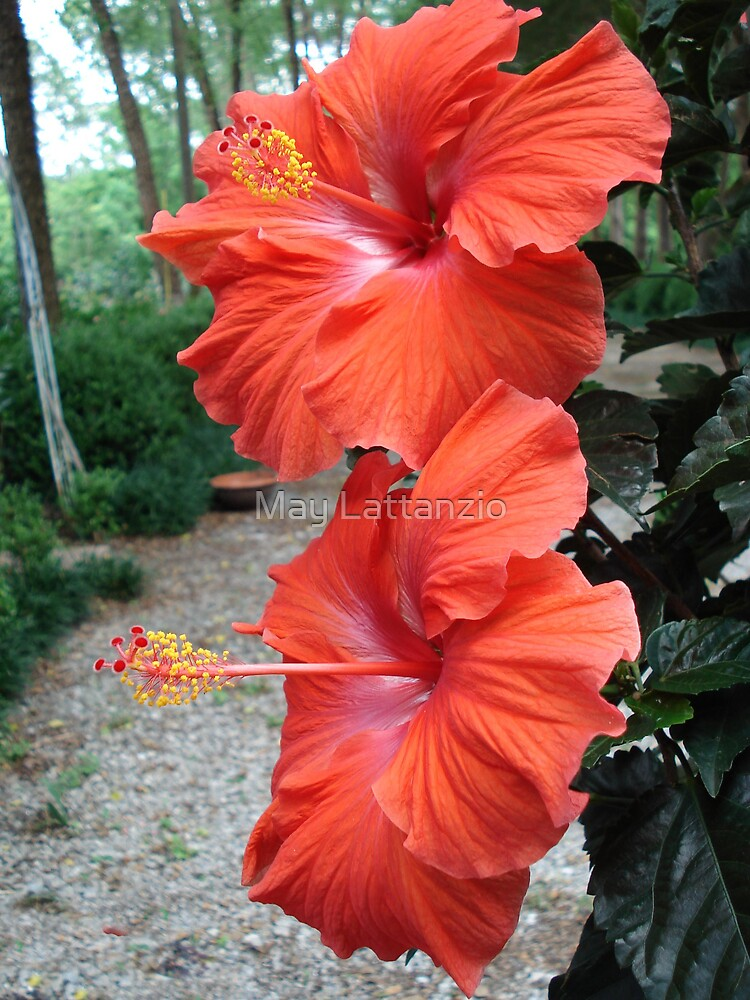 Hibiscus by May Lattanzio
