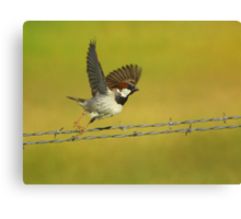 House Sparrow Take-Off Canvas Print