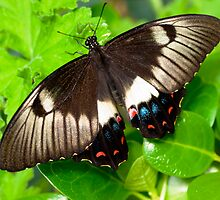 Dainty Swallowtail butterfly by Anna D'Accione